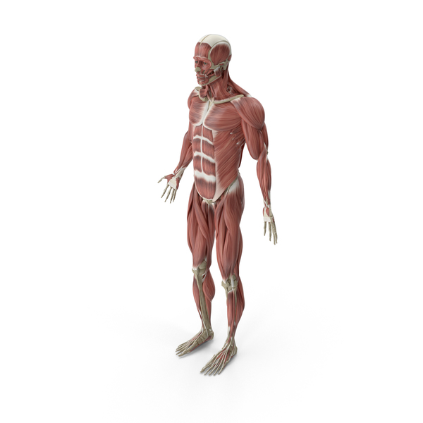 Male Muscular System Object